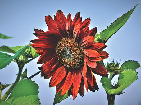 We LOVE Sunflowers