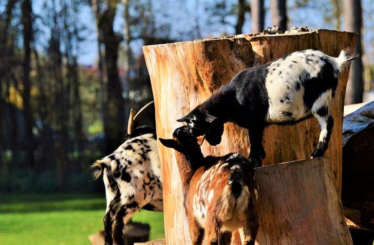 goat-3039663_640.jpg