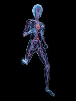 cardiovascular-system-262x350.jpg