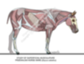 Surface Muscles Przewalski Horse mare sm