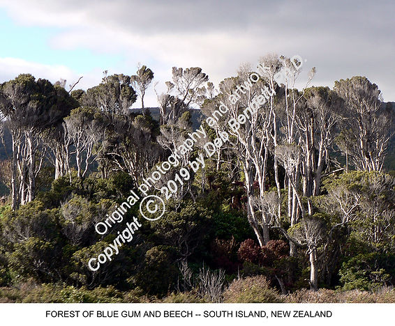 Eucalyptus and Beech S ISL NZ smw.jpg