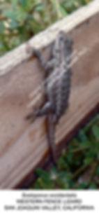 Fence lizard no1 TURLOCK smw.jpg