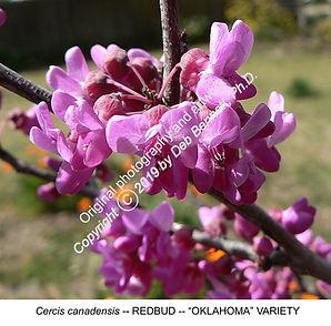 Oklahoma Redbud Blossoms sm.jpg