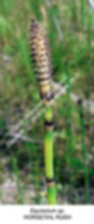 Horsetail Equisetum head IOWA SMW.jpg