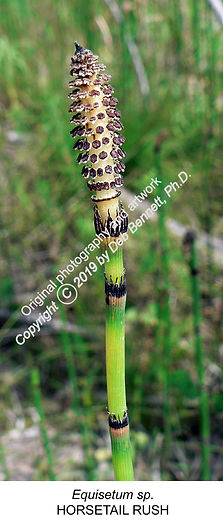 Horsetail Equisetum head IOWA SMW.jpg