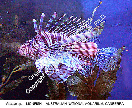 Lionfish Canberra Zoo smw.jpg