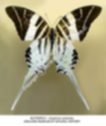 Austral Butterfly Graphium androcles AD