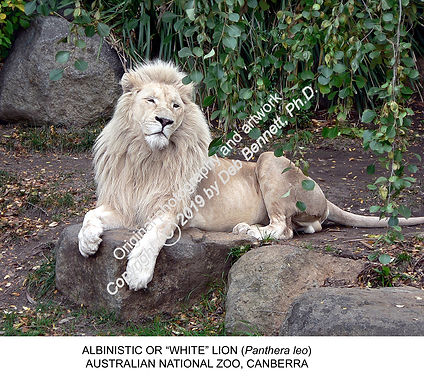White Lion Canberra Zoo SMW.jpg