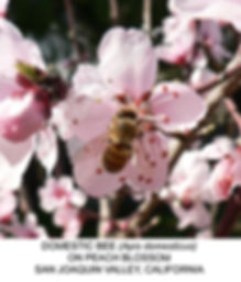 Bee in peach blossom TURLOCK smw.jpg
