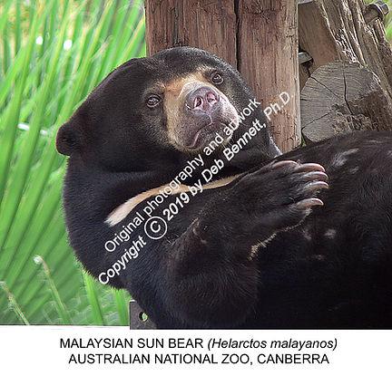 Malaysian Sun Bear Canberra Zoo SMW.jpg