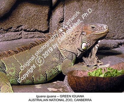 Green Iguana Canberra Zoo smw.jpg