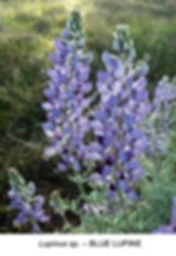 Lupine HORNITOS SMW.jpg