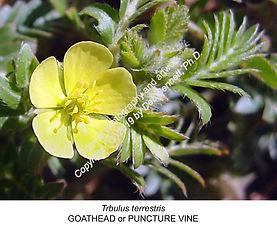 Tribulus terrestris Goathead TURLOCK smw
