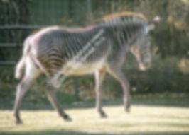 Grevy Zebra Calgary Zoo SMW.jpg