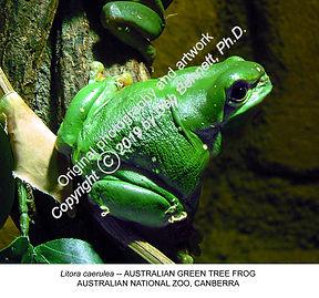 Green Tree Frog Canberra Zoo smw.jpg