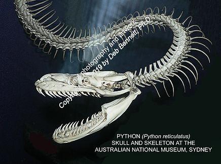 Skull and teeth Rock Python Sydney MNH s