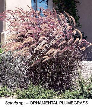 Setaria ornamental plumegrass SONOMA smw