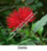 Dahlia blossom VINDO smW.jpg