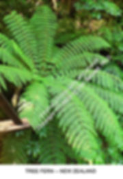 Tree Fern Milford Sound S ISL NZ smw.jpg