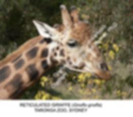 Giraffe portrait Taronga Zoo SMW.jpg