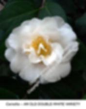 Camellia Double White Old Variety smW.jp
