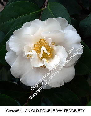 Camellia Double White Old Variety smW.jp