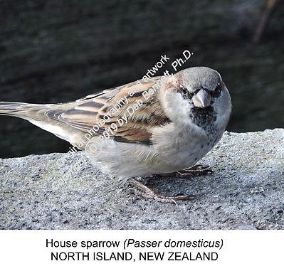 Passer domesticus House sparrow NZ smw.j