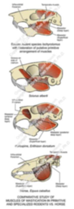 Temporomandibular Structure Horse Rodent