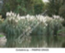 Cortaderia Pampas Grass ADELAIDE BG smw.