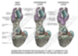 Horse Pastern 3D layers dissection smW.j