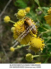 Blister beetle on Sneezeweed Helenium IO