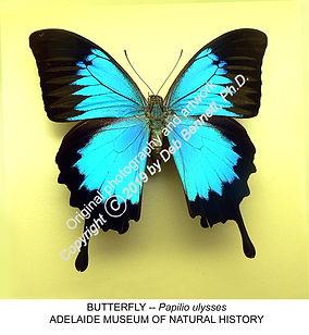 Australian Butterfly Papilio ulysses AD