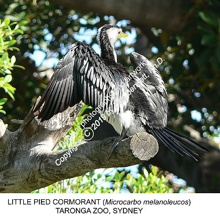 Cormorant Taronga Zoo no1 smw.jpg