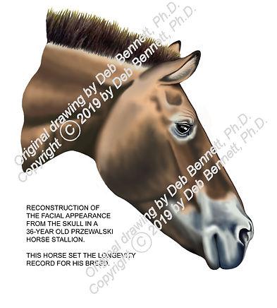 Facial restoration frm skull Przewalski