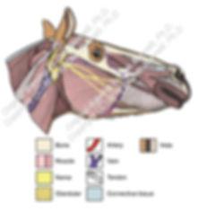 Muscles of head Przewalski horse smW.jpg