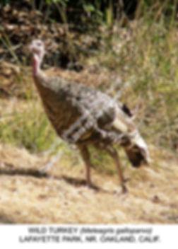 Wild Turkey Lafayette Park 2002 smw.jpg