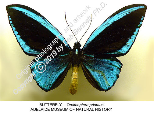 Austral Butterfly Ornithoptera priamus A