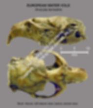 Arvicola terrestris skull DVL no1 smw.jp