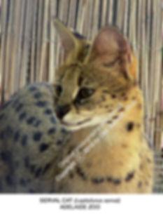 African Serval Cat Adelaide Zoo SMW.jpg