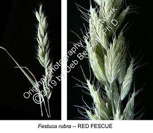 Festuca rubra Red Fescue SNELLING smw.jp