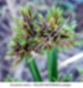 Esculenta nutans Yellow Nutgrass SMW.jpg