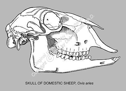 Sheep Skull BW on Gray smw.jpg