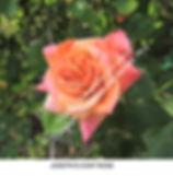 Josephs Coat Rose noX TURLOCK smw.jpg