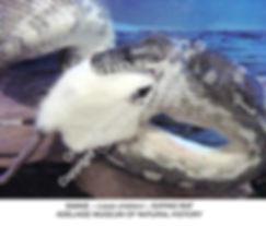 Snake Eating Rat Adelaide MNH 2004 smw.j