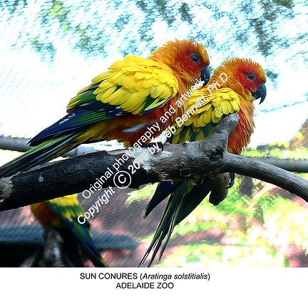 Sun Conures Adelaide Zoo no1 smw.jpg