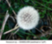Dandelion puff VINDO SMW.jpg
