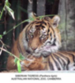 Tigress Canberra Zoo SMW.jpg