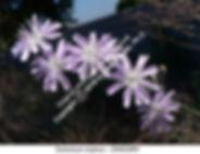 Cichorium intybus Chicory VINDO SMW.jpg