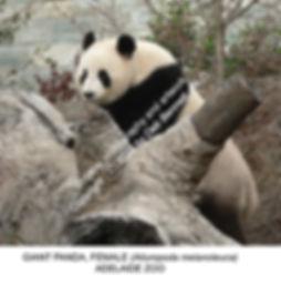 Giant Panda female Adelaide Zoo no1 SMW.