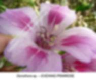 Oenothera Evening Primrose TURLOCK SMW.j